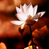 Lotus Flower Blossom Photographic Print by Liang Zhang