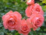 Pink Roses in the Garden Photographic Print by  weter777