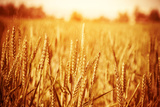 Golden Ripe Wheat Field, Sunny Day Photographic Print by Anna Omelchenko