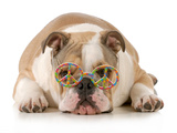 Happy Dog - English Bulldog Wearing Peace Sign Glasses Laying Down Photographic Print by Willee Cole