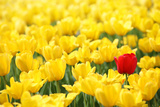 Yellow Tulips and One Red Prints by  Sofiaworld