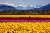 BILLPERRY - Yellow Red Purple Tulips Flowers Snow Mountains Skagit Valley Washington State - Fotografik Baskı