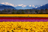 Yellow Red Purple Tulips Flowers Snow Mountains Skagit Valley Washington State Print by  BILLPERRY