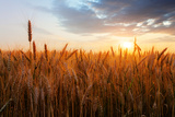 Wheat Field over Sunset Photographic Print by  TTstudio