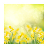 Spring Growing Daffodils in Garden Posters af  neirfy