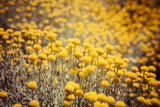 Field Flowers/Buttercup Posters by  Curioso Travel Photography
