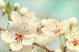 Cherry Blossoms Against a Blue Sky Photographic Print by  egal