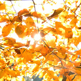 Yellow Leaves Illuminated by Straight Sunshine Posters by Roman Slavik