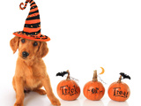 Cute Puppy Wearing a Halloween Witch Hat with Pumpkins Posters by  Hannamariah