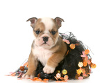 Halloween Puppy - English Bulldog Dressed Up for Halloween - 7 Weeks Old Print by Willee Cole
