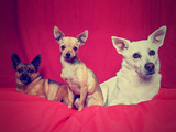 Three Chihuahuas Posing on a Blanket Photographic Print by  graphicphoto