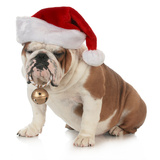 Christmas Dog - English Bulldog Wearing Santa Hat Holding Christmas Bell Print by Willee Cole