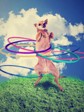 A Chihuahua Using a Hula Hoop Photographic Print by  graphicphoto