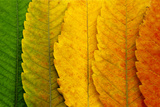 Close Up of Autumn Leaves Posters by  rodho