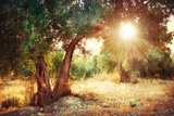 Mediterranean Olive Field with Old Olive Tree Reproduction photographique par Subbotina Anna