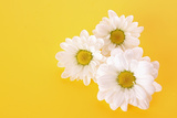 White Camomile on Yellow Background Photo by  Yastremska