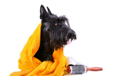 Dog after Bath Reprodukcja zdjęcia autor eAlisa