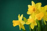 paulgrecaud - Yellow Daffodils on Green Background - Fotografik Baskı