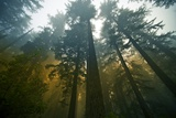 Redwood Forest Photographic Print by  duallogic