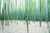Young Bamboo Forest, with Some New Bamboo Shoots Photographic Print by  landio