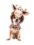 A Cute Chihuahua in a Costume Photographic Print by  graphicphoto