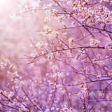 Beautiful Tender Cherry Tree Blossom in Morning Purple Sun Light Photo by Anna Omelchenko