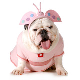 Cute Puppy - English Bulldog Female Wearing Cute Costume Photographic Print by Willee Cole