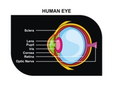 Human Eye Cross-Section Posters by  udaix