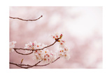 Spring Cherry Blossoms in Soft Spring Light Prints by  landio