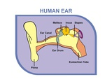 Human Ear with External, Middle and Outer Ear Premium Giclee Print by  udaix