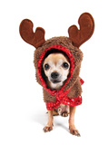 A Cute Chihuahua in a Costume Prints by  graphicphoto