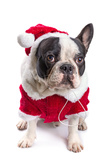 French Bulldog in Santa Costume for Christmas over White Photographic Print by Patryk Kosmider