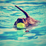A Dachshund with a Ball in His Mouth Photographic Print by  graphicphoto