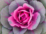 Decorative Cabbage Background Photographic Print by  snowturtle