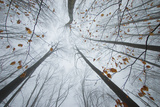 Trees Reaching Up in a Forest in Autumn with Colorful Leaves and Fog Prints by  ando6