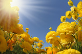 Picturesque Field of Beautiful Yellow Buttercups Ranunculus Photo by  kavram