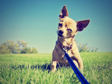 A Tiny Chihuahua on a Grassy Hill Posters by  graphicphoto