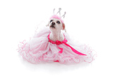 Pampered Princess or Ballerina Pet Photo by  lovleah