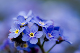 Forget Me Not Flowers - Spring Garden Photographic Print by  Gorilla