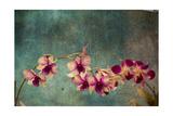 Hawaiian Orchid Prints by  pdb1
