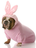 Dog Dressed Up as Easter Bunny Photographic Print by Willee Cole