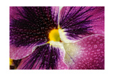 Beautiful Purple Pansy Violet Flower with Water Drops Posters by  Digidesign