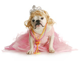 Spoiled Female Dog - English Bulldog Dressed Like a Princess on White Background Posters by Willee Cole