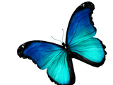 Blue Butterfly on White Background Prints by  suns_luck