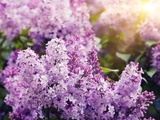 Close-Up Beautiful Lilac Flowers with the Leaves Photographie par Leonid Tit