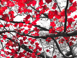 Red Fall Leaves on Black and White Photographic Print by  deberarr