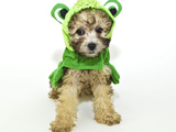 Poodle Puppy in a Frog Outfit Photographic Print by  JStaley401