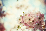 Vintage Photo of White Cherry Tree Flowers in Spring Photographic Print by Petr Jilek