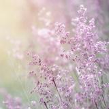 Background of Beautiful Lavender Color Flower Field Fotografisk tryk af Anna Omelchenko
