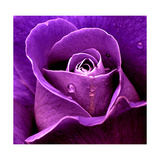 Purpurfarbene Rose Kunstdrucke von  Imagevixen